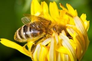 пера пчелиная полезные свойства